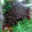 เจียวกู่หลานสายพันธุ์จีน เกรดธรรมดา ขนาดบรรจุ 80 กรัม ราคาห่อละ 89 บาท thumbnail 2
